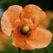 Poppy (Red) - Papaver rhoeas - Kornvallmo